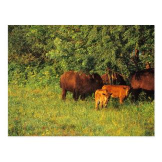 Carte Postale Troupeau de bison chez Neil Smith NWR en Iowa