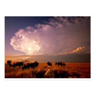 Carte Postale Troupeau de Buffalo
