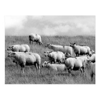 Carte Postale Troupeau de moutons