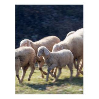 Carte Postale troupeau des moutons