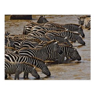 Carte Postale Troupeau des zèbres de Burchell buvant de Mara