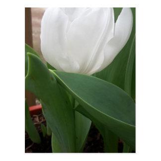 Carte Postale Tulipe blanche