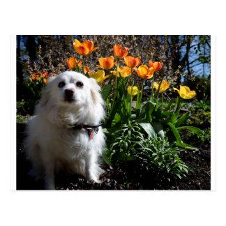 Carte Postale Tulipes de Pomeranian