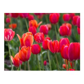 Carte Postale Tulipes de ressort à Edmonton