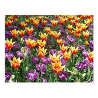 Carte Postale Tulipes multicolores