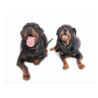 Carte Postale two rottweilers,