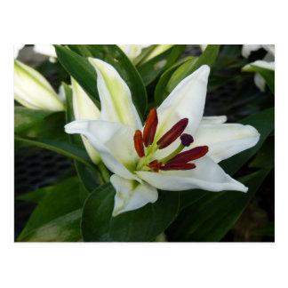 Carte Postale Un Lilly blanc