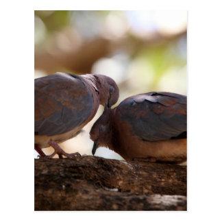 Carte Postale Une paire de colombes riantes (senegalensis de