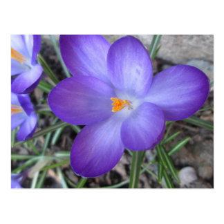 Carte Postale Usine de jardin fleurissante de crocus