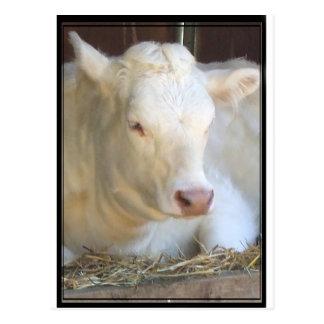 Carte Postale Vache blanche