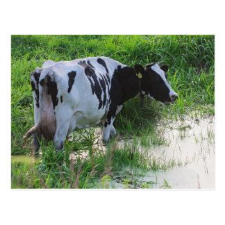 Carte Postale Vache étée en désordre