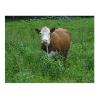 Carte Postale Vache heureuse