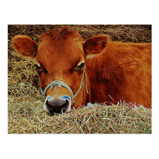 Carte Postale Vache nichée