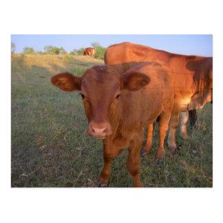 Carte Postale Vaches à bébé