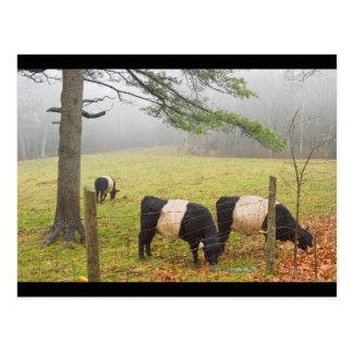 Carte Postale Vaches ceinturées à Galloway à la ferme dans