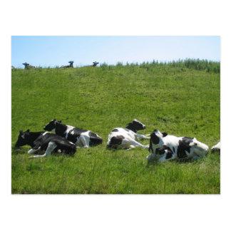 Carte Postale Vaches du Holstein de Frisian