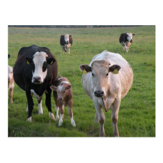 Carte Postale Vaches irlandaises