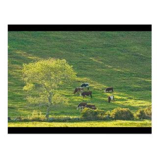 Carte Postale Vaches sur des terres cultivables de Hillside au