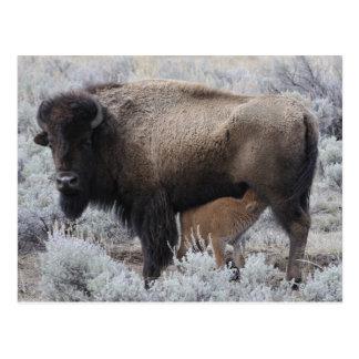 Carte Postale Veau de bison de soins de vache, Yellowstone