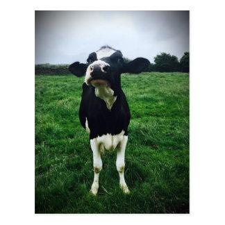 Carte Postale Veau mignon d'animal de ferme de vache
