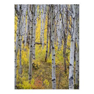 Carte Postale Verger d'Aspen dans la couleur maximale de chute
