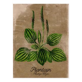 Carte postale vintage de plantain de style