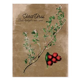 Carte postale vintage d'usine d'Uva Ursi de style