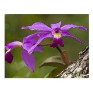 Carte Postale Violacea violet de Cattleya d'orchidée de