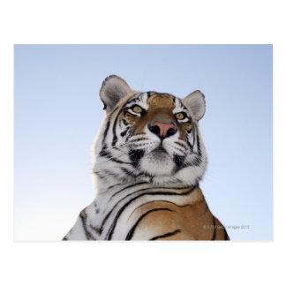 Carte Postale Vue d'angle faible d'un tigre (Panthera le Tigre)
