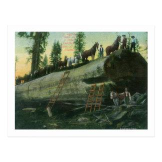 Carte Postale Vue d'une équipe de notation sur un séquoia tombé