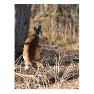 CARTE POSTALE WALLABY QUEENSLAND RURAL AUSTRALIE