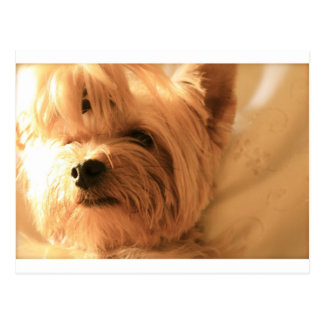 Carte Postale Yorkshire Terrier