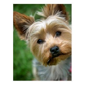 Carte Postale Yorkshire Terrier Nina