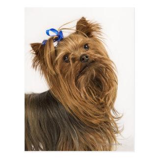Carte Postale Yorkshire Terrier/Yorkie. Race animée de
