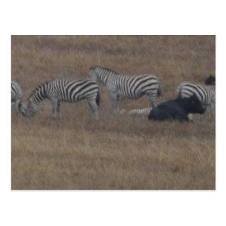 Carte Postale zèbres et vaches dans le domaine
