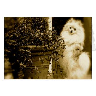 Carte Préjudice de Pomeranian