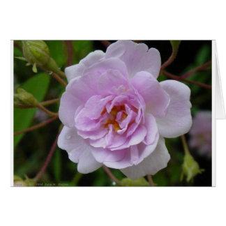 Carte Rose de musc de l'Himalaya de Paul
