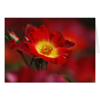 Carte Rose Romance et signification