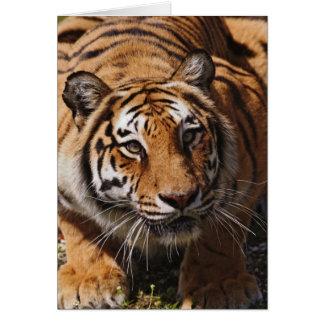 Carte Tigre de Bengale, Panthera le Tigre 3