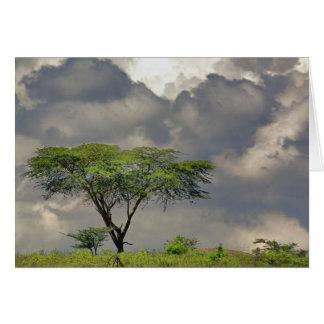 Carte Tortilis d'acacia, d'acacia d'épine de parapluie,