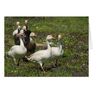 Carte Troupeau des canards