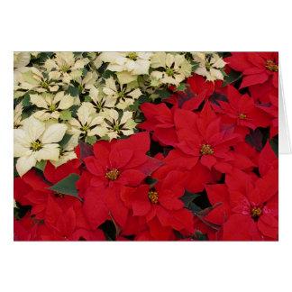 Carte Vacances blanches et rouges des poinsettias I
