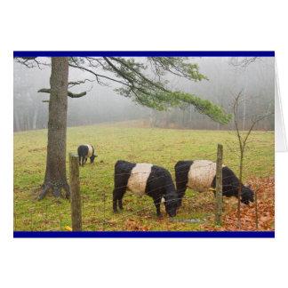 Carte Vaches ceinturées à Galloway à la ferme dans