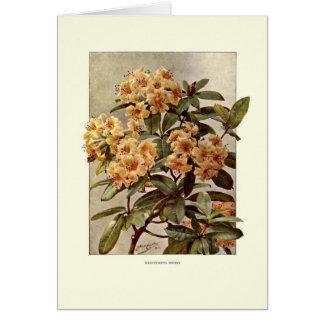 Carte Variété Minerva de rhododendron