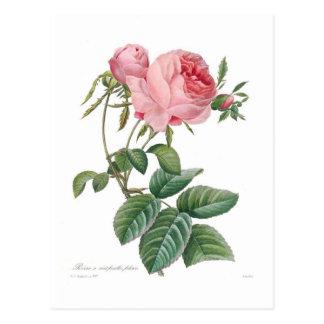 Centifolia de Rosa Cartes Postales