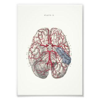 Cerveau d'impression d'anatomie de 1895 humains photographe