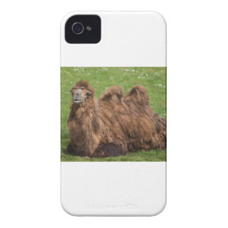 Chameau Bactrian Coque iPhone 4