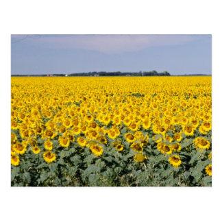 champ d'or jaune des tournesols, fleur de Manitoba Carte Postale