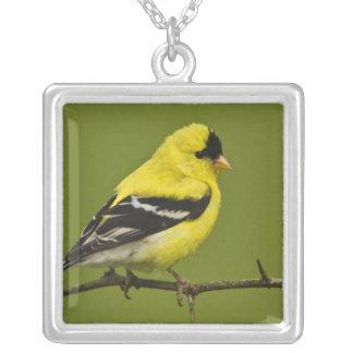 Chardonneret américain masculin dans le plumage collier