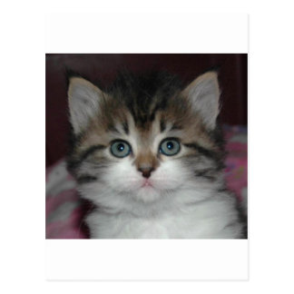 Chat tigré sibérien/chaton blanc carte postale